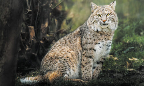 Bobcats and coyotes roam about